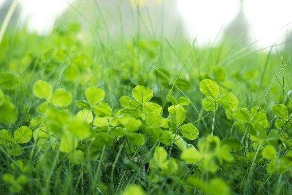 grass lawn with clovers