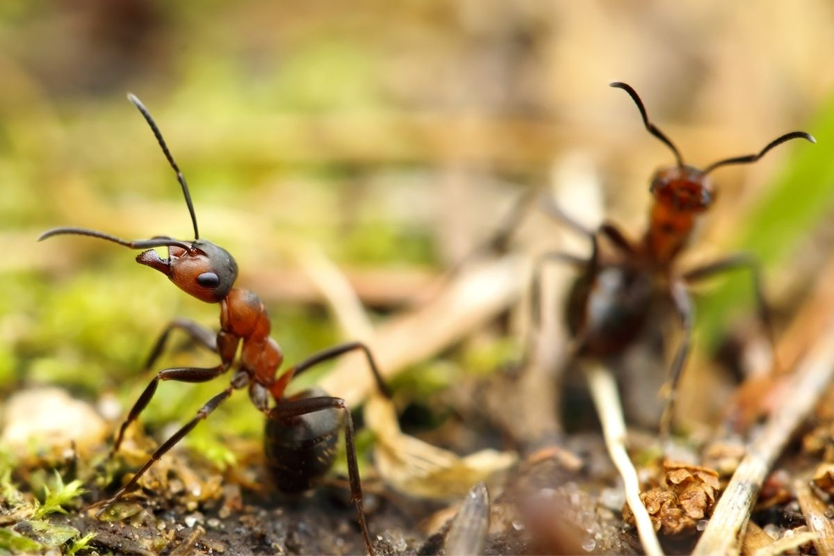 Do Ants Ruin Compost? [And What To Do If You Find Them]